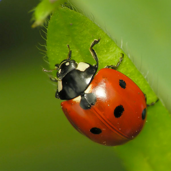 Ladybird with spots